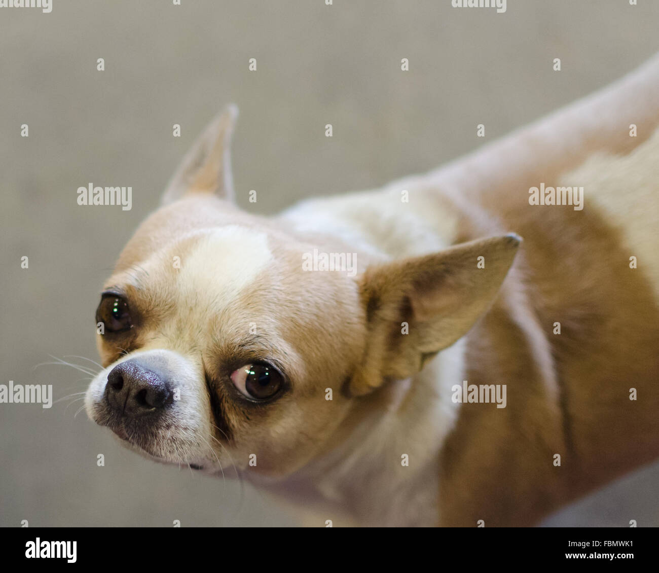 Amazing Chihuahua Chubby Adorable Dog - chubby-chihuahua-FBMWK1  Collection_84968  .jpg