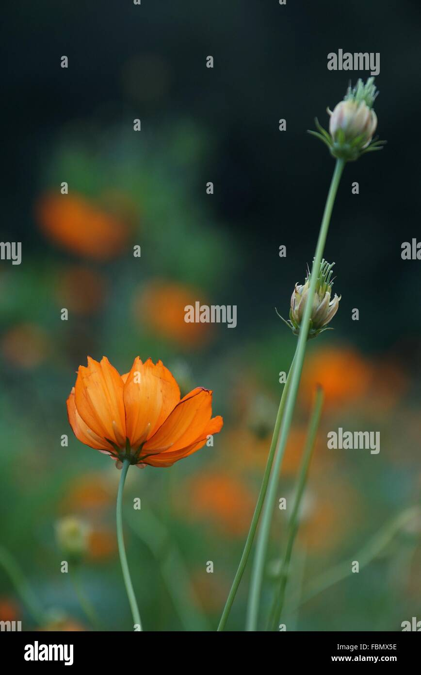 Close-Up View Of Poppy - Stock Image