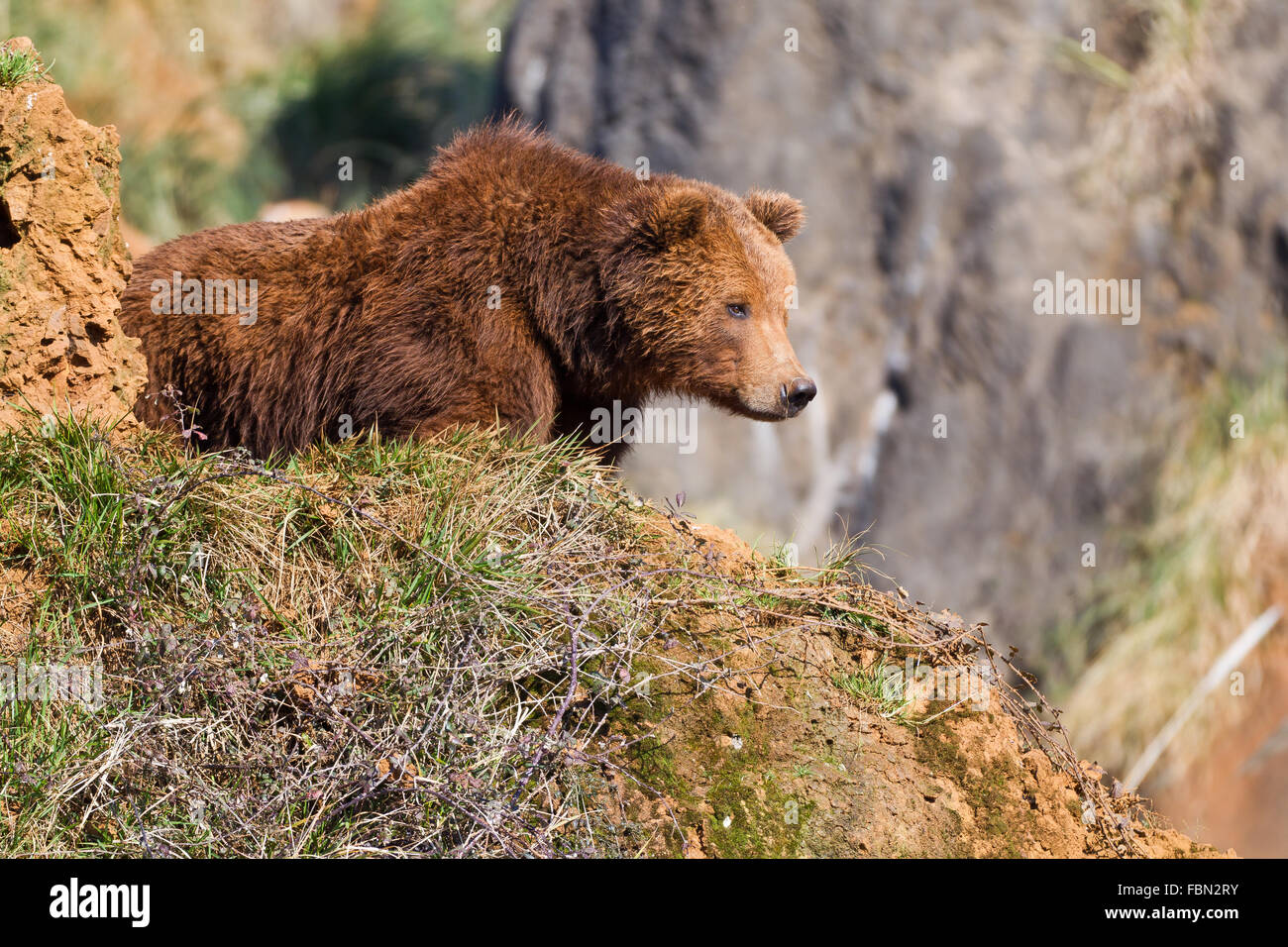 A brown (or grizzly) bear in Cabarceno Nature Park, Cantabria, Spain. - Stock Image