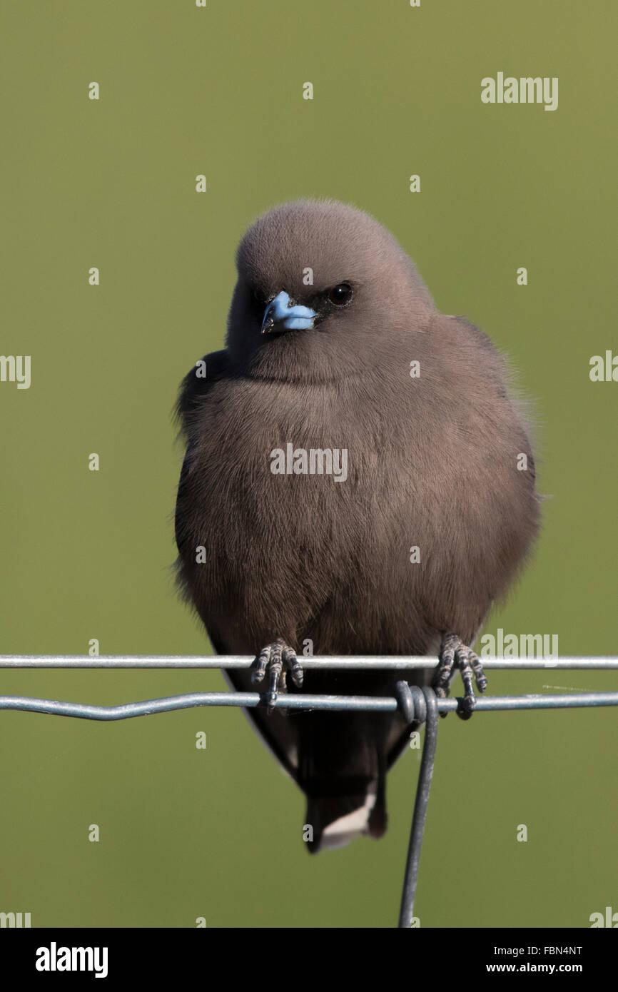 Dusky Woodswallow (Artamus cyanopterus) perched on a wire fence - Stock Image