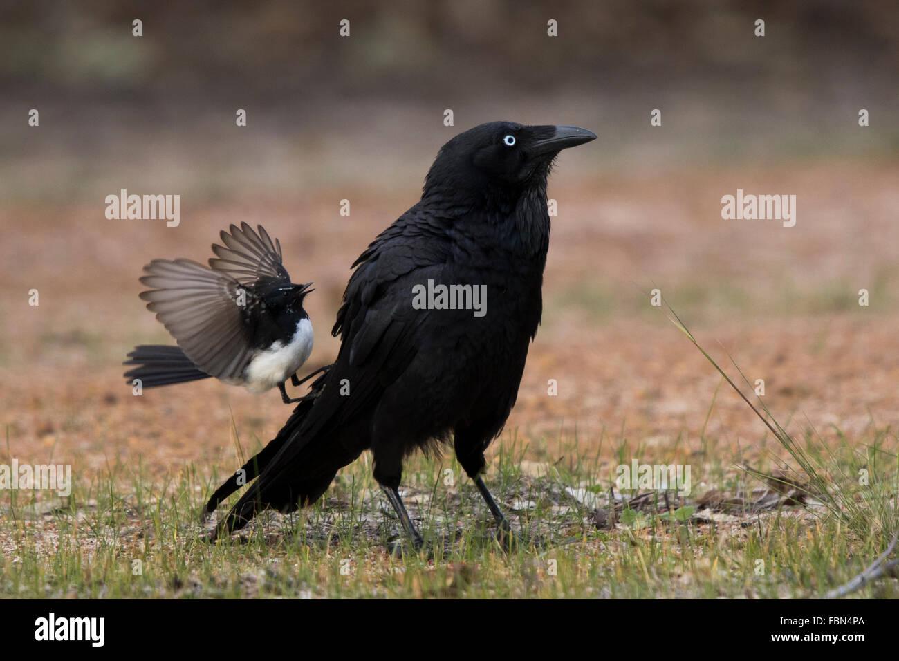 Willie Wagtail (Rhipidura leucophrys) attacking an Australian Raven (Corvus coronoides) - Stock Image