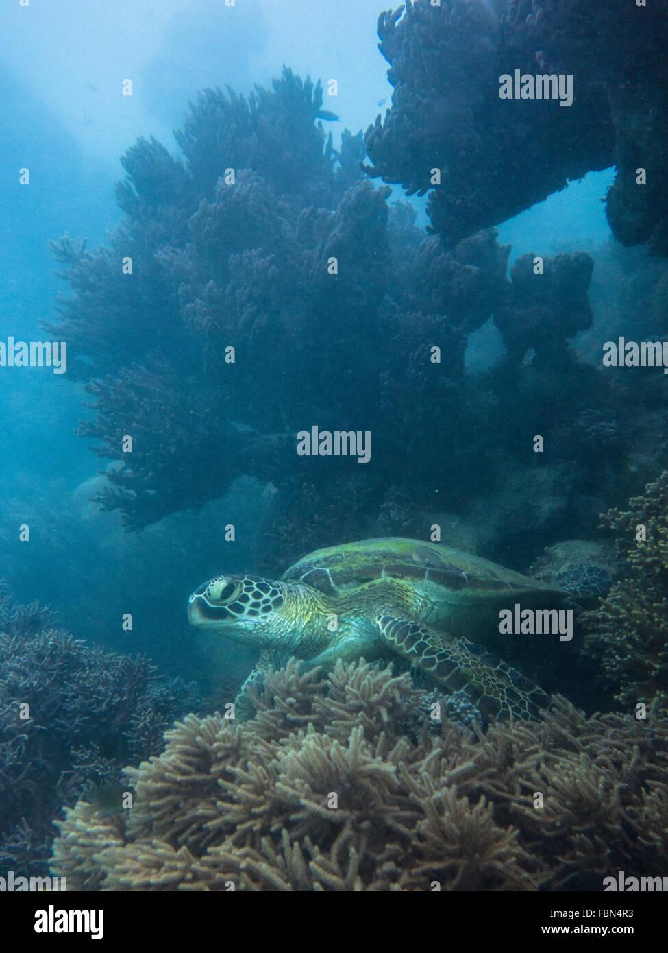 Coral and green sea turtle (Chelonia mydas) Stock Photo
