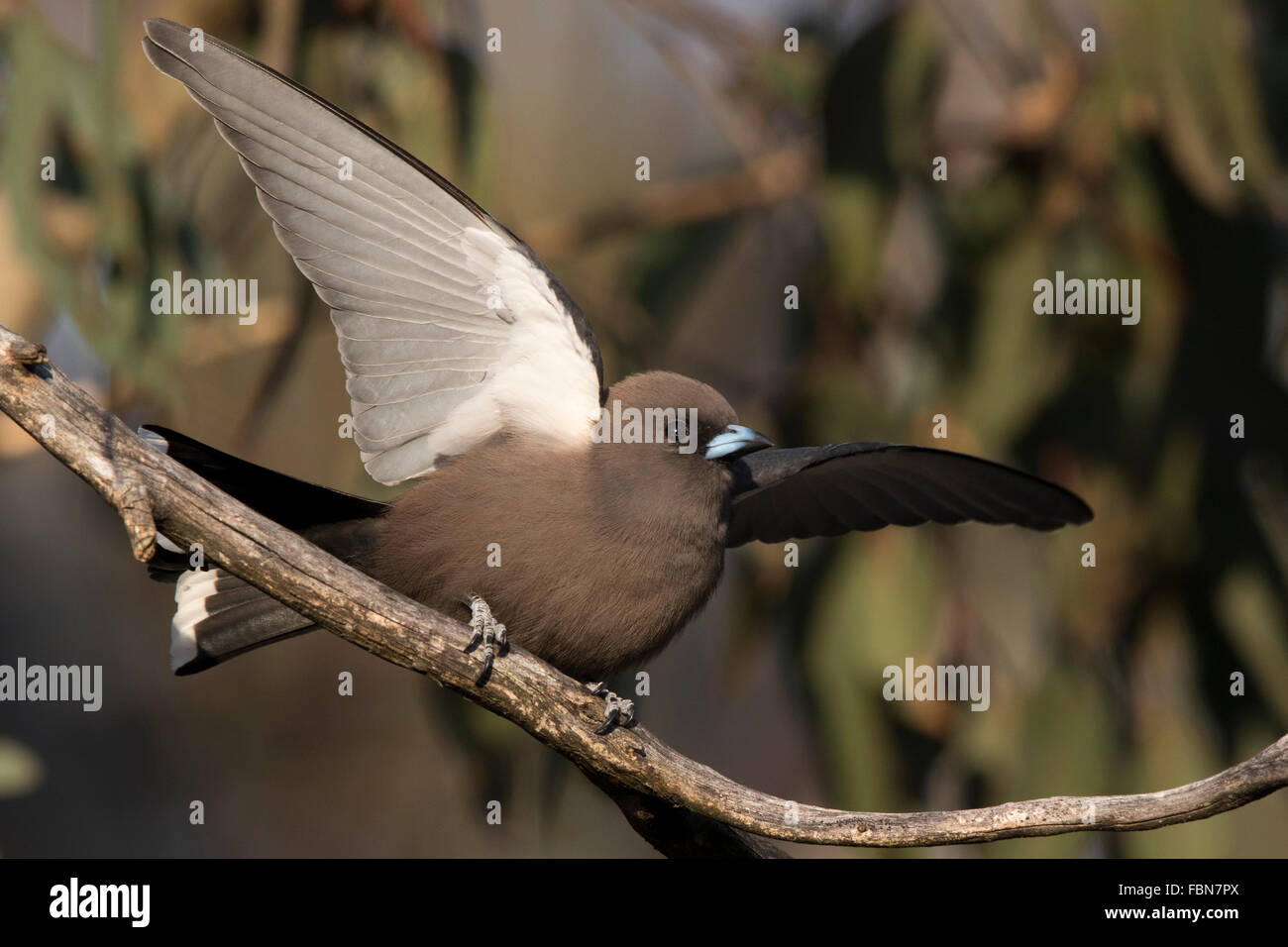 Dusky Woodswallow (Artamus cyanopterus) displaying on a branch - Stock Image