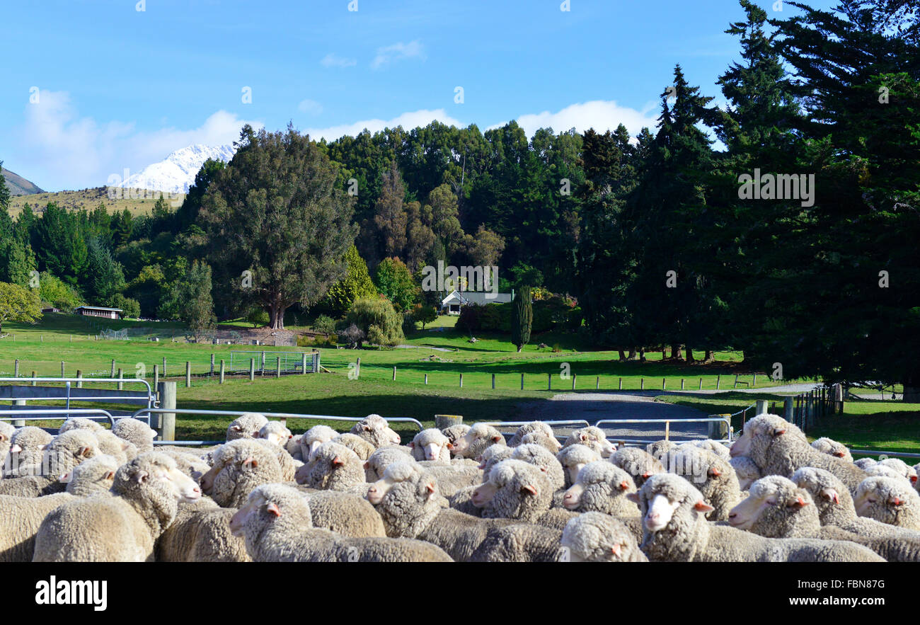 merino sheep rounded up in pens for shearing  at Mt Nicholas Station on the shores of beautiful Lake Wakatipu, Nr. - Stock Image