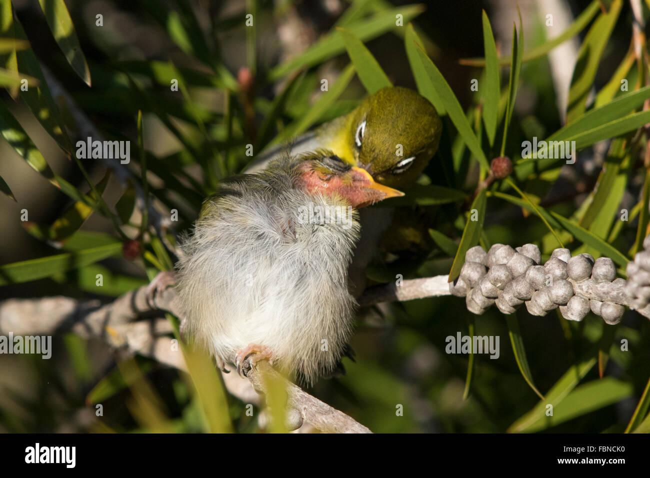 Silvereye (Zosterops lateralis) feeding its chick - Stock Image