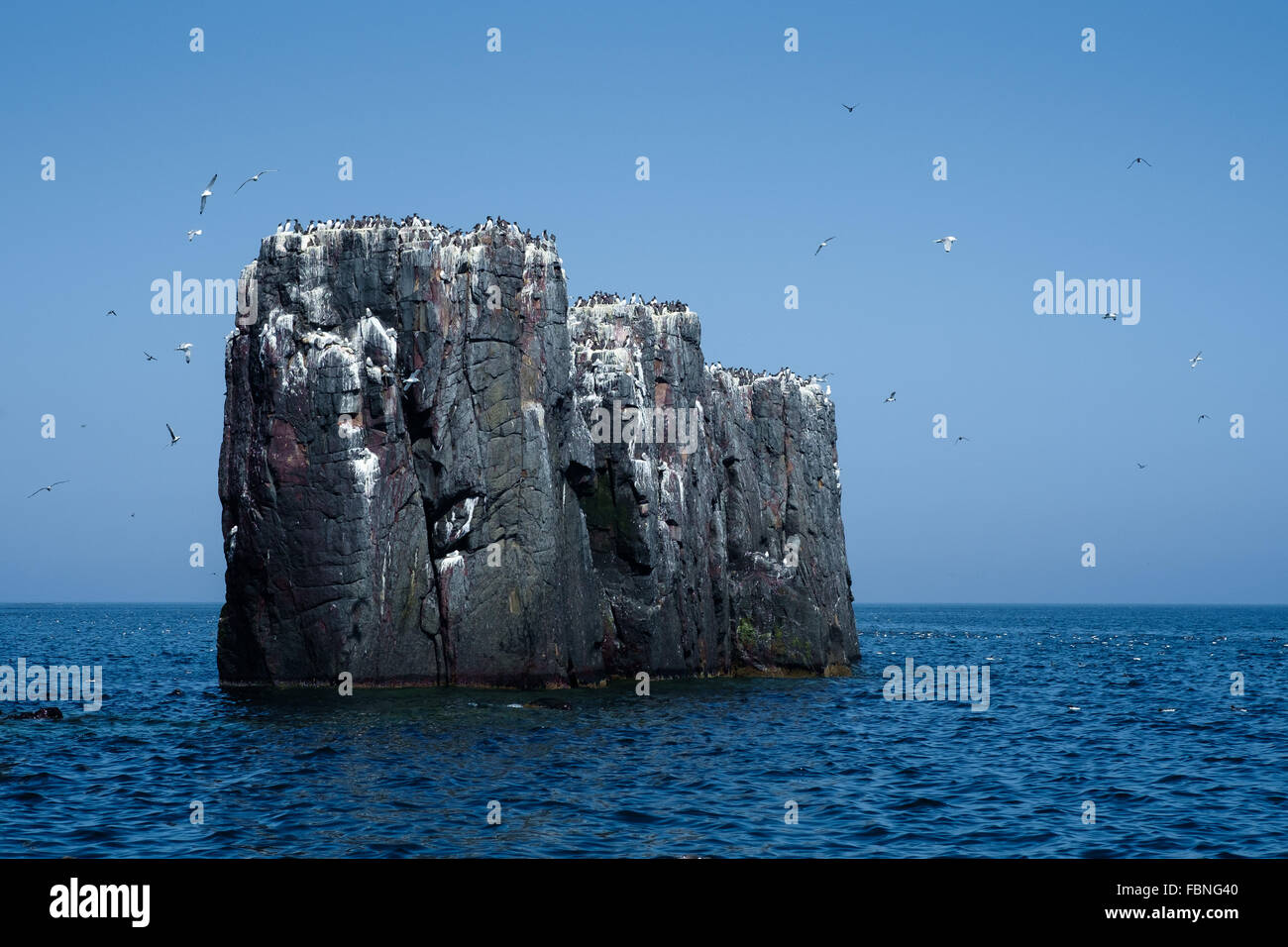 Seabirds on one of the Farne Islands off the coast of Northumerland, England. Stock Photo