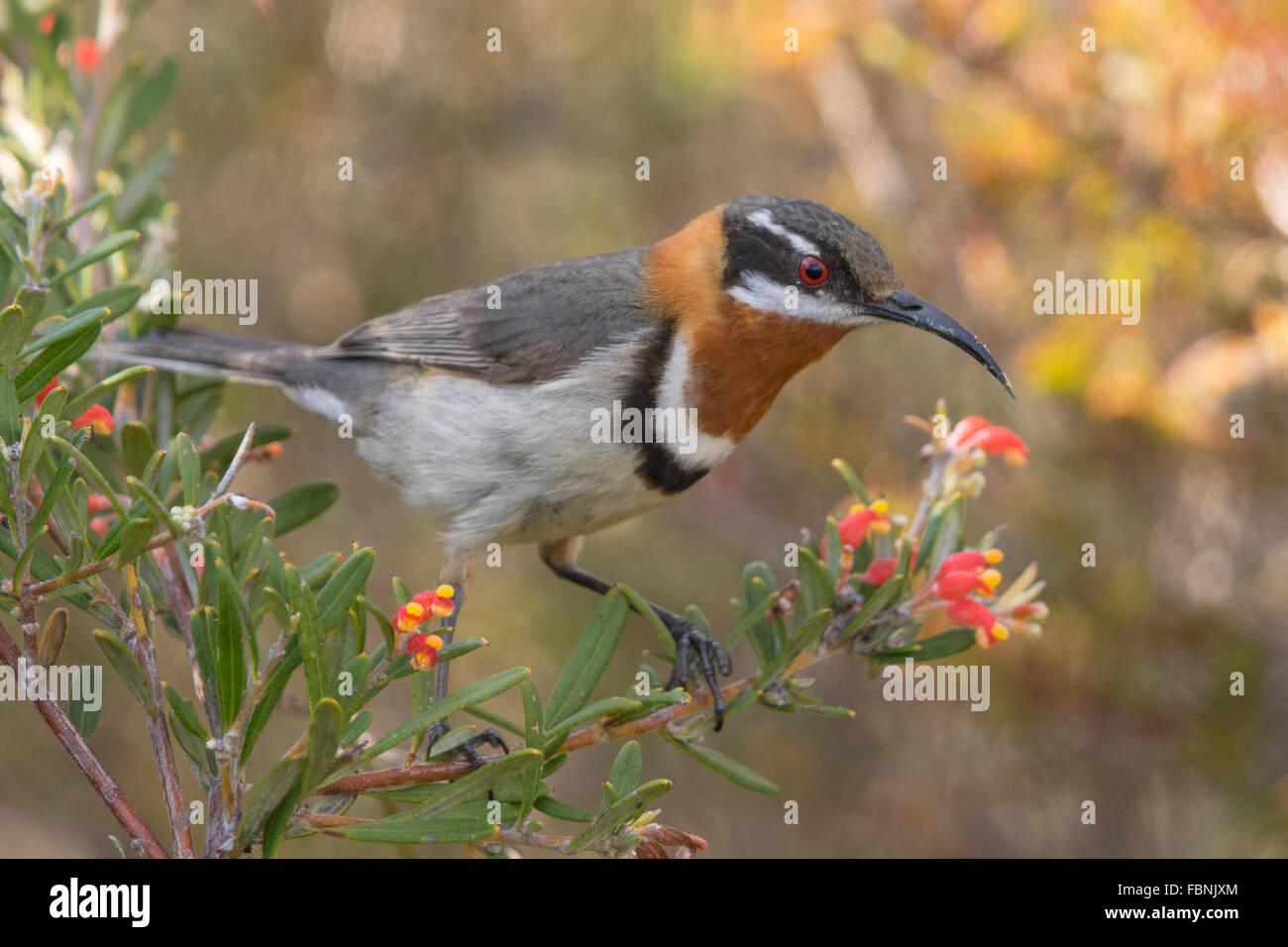 Western Spinebill (Acanthorhynchus superciliosus) - Stock Image