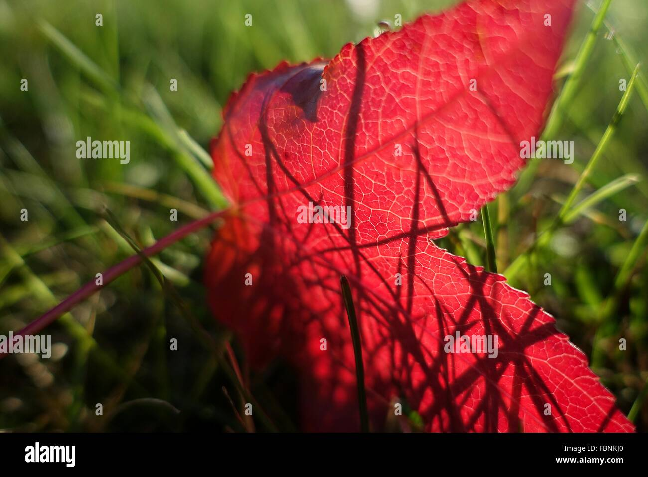 Close-Up Of Red Leaf In Meadow - Stock Image