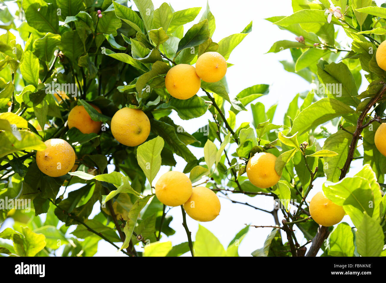 ripe lemons growing on a lemon tree in the south of france stock photo 93289546 alamy. Black Bedroom Furniture Sets. Home Design Ideas