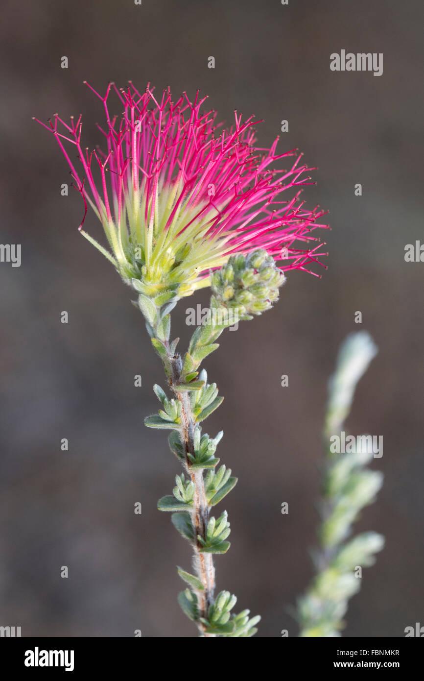 A Western Australian Bottlebrush flower (Myrtaceae) - Stock Image