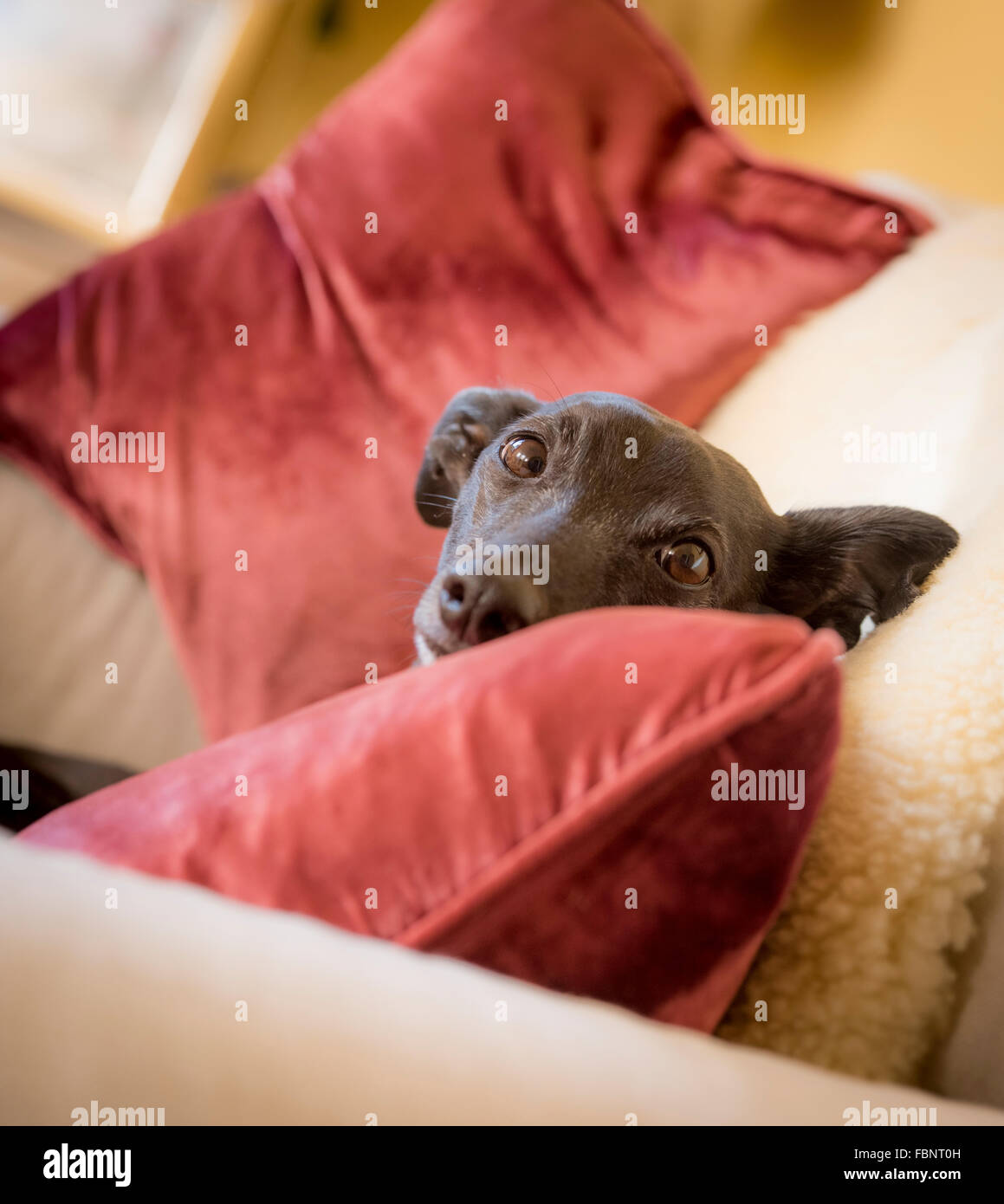 Whippets enjoying their holiday at the Whippet Hotel in West Sussex, UK. - Stock Image