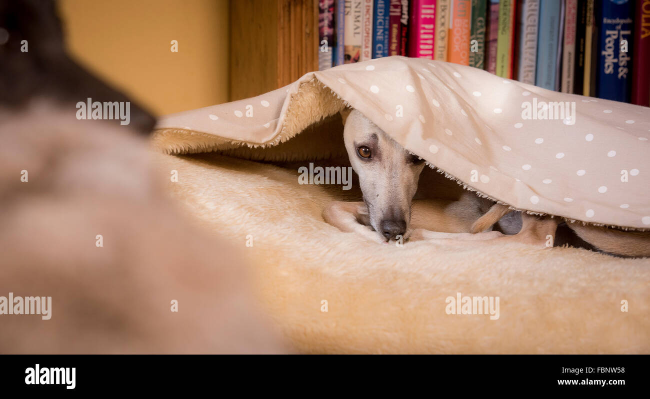 Whippets enjoying their holiday at the Whippet Hotel in West Sussex, UK. A guest in a dog's bed. - Stock Image