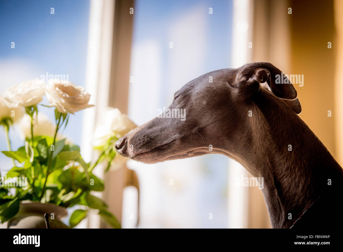 Whippets enjoying their holiday at the Whippet Hotel in West Sussex, UK. A guest looks out of the window. - Stock Image