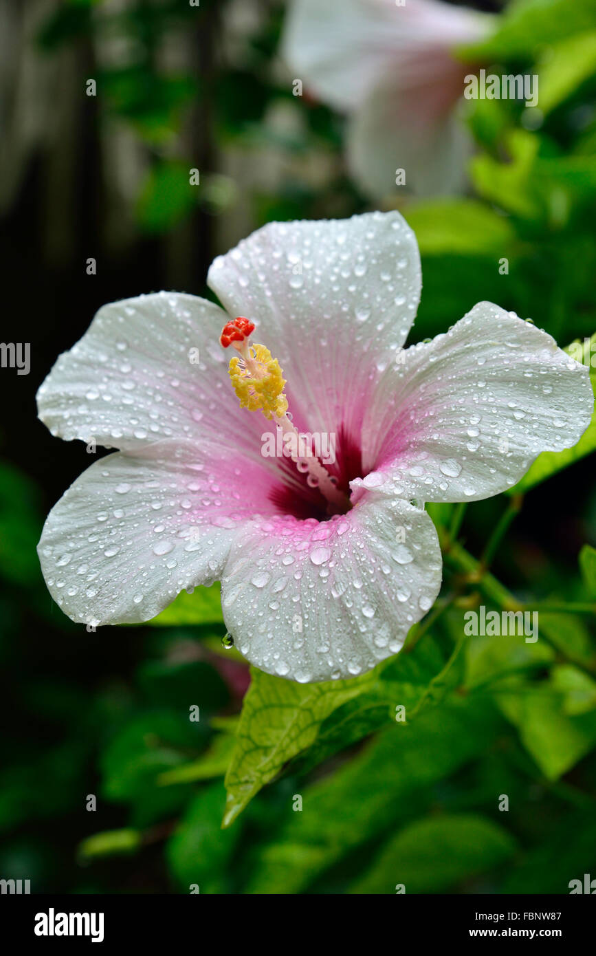 Hibiscus flower with raindrops taken on the small tropical paradise island of Aitutaki, Cook Islands, South Pacific - Stock Image