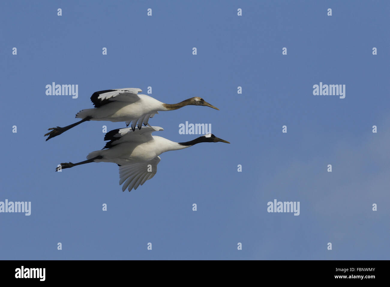 Red-crowned Cranes in flight grus japonensis - Stock Image