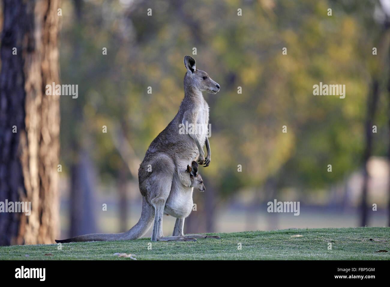 Eastern Grey Kangaroo, Macropus giganteus, with joey in pouch - Stock Image