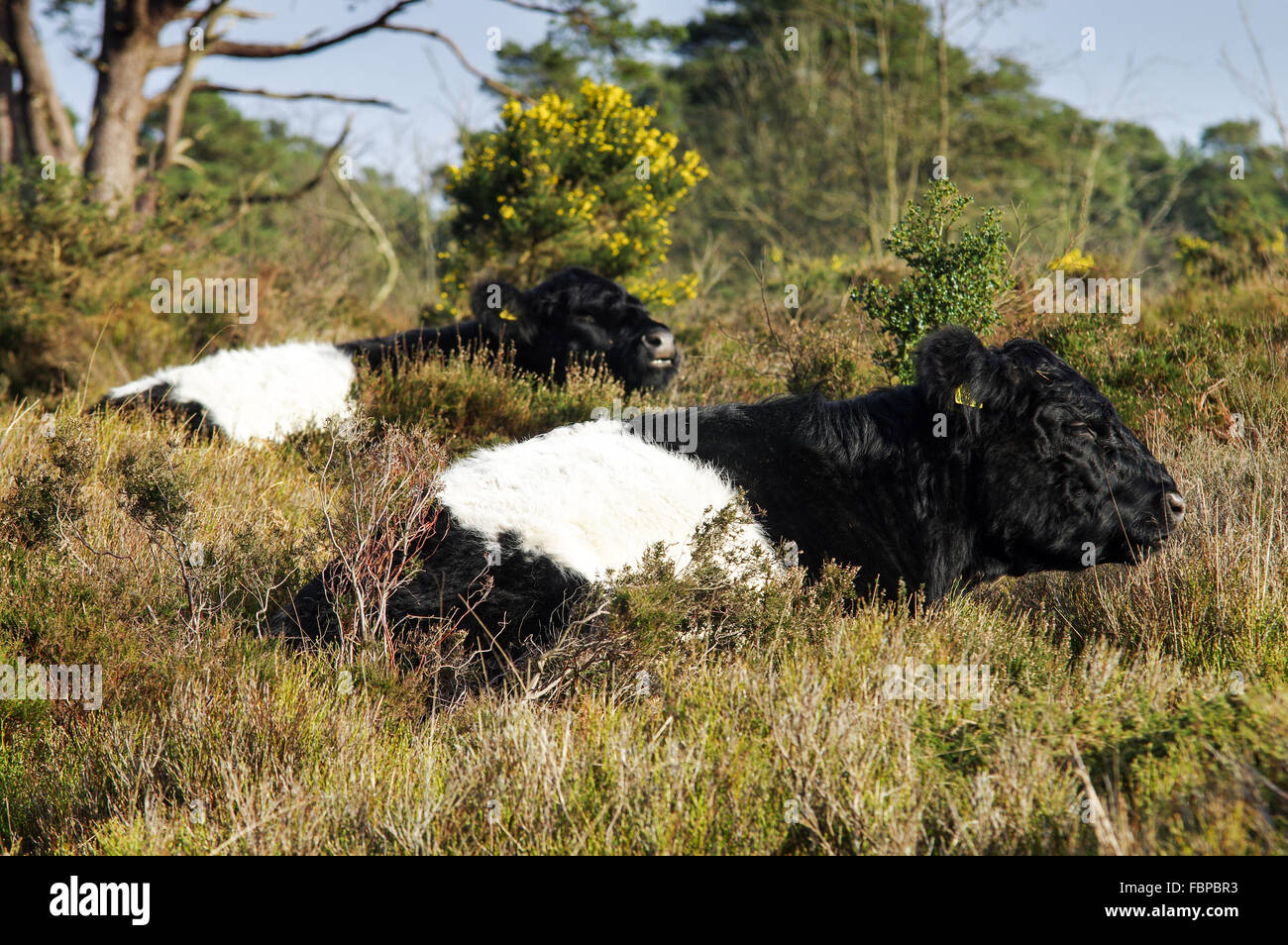Aberdeen Angus cattle grazing around Blackdown - South Downs National Park, Sussex, England Stock Photo