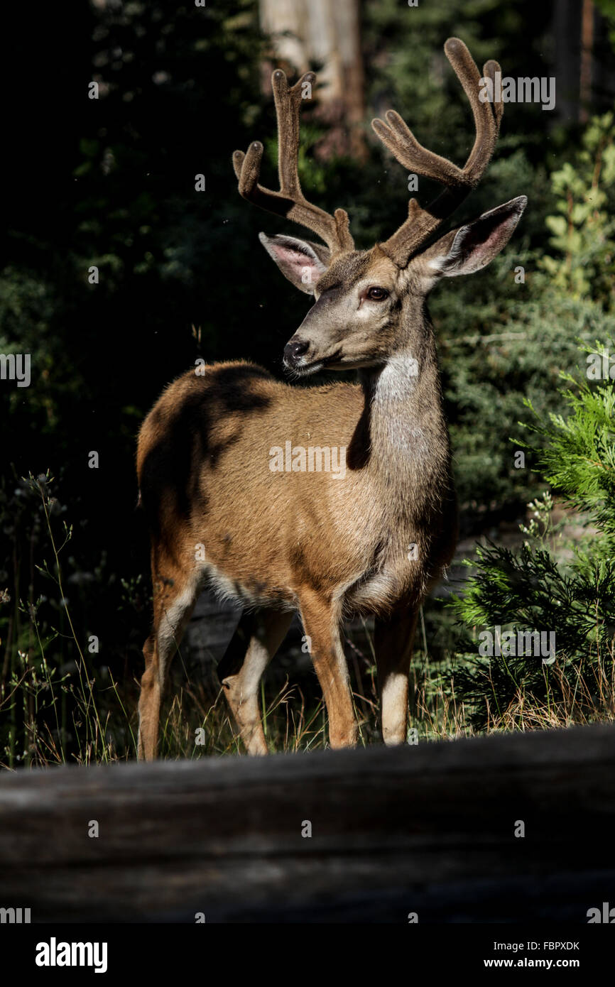 Two Whitetail Deer in the Wild - Male Bucks with Velvet Antlers - Stock Image