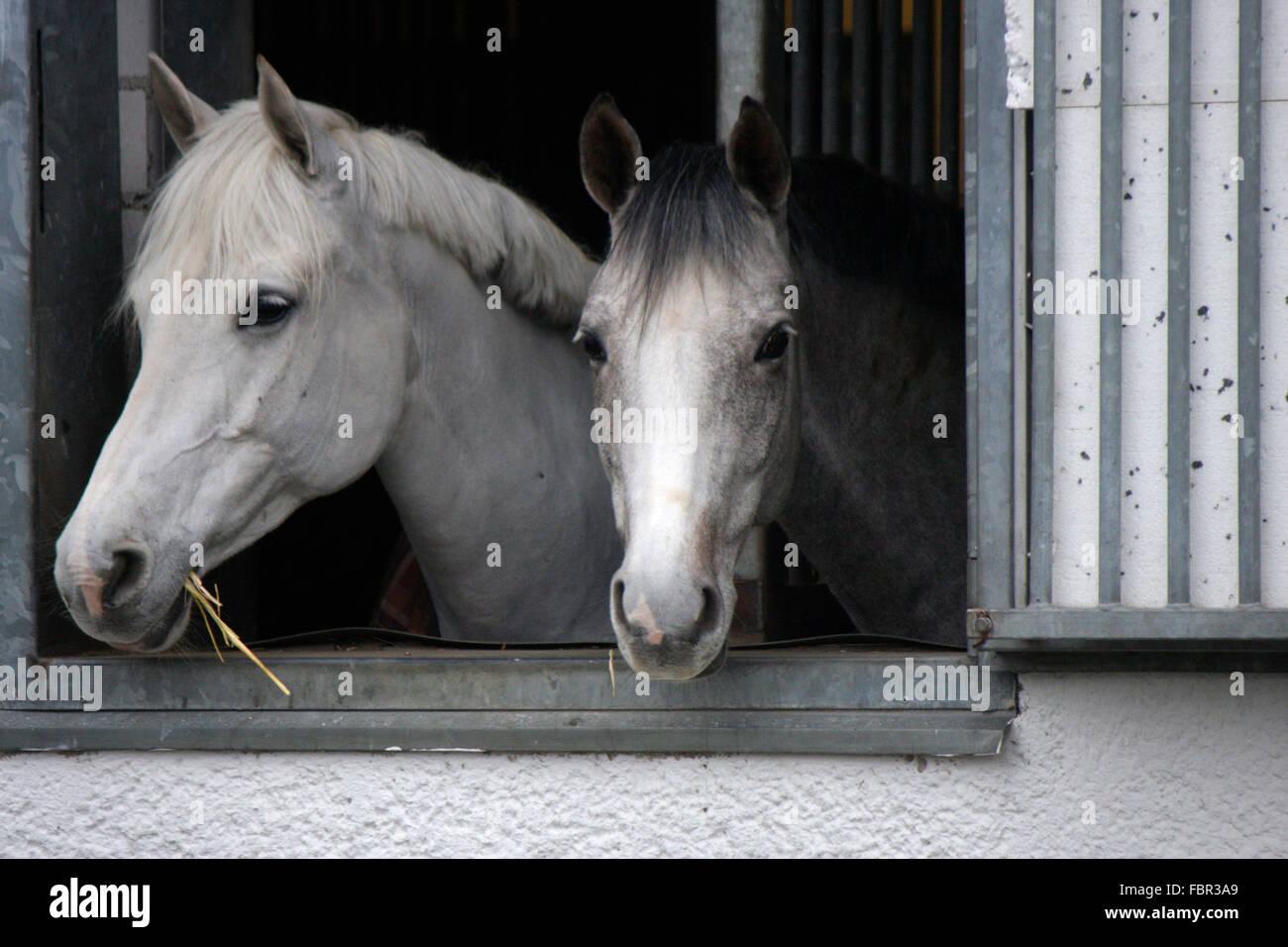 Pferde, Dallgow, Brandenburg. - Stock Image