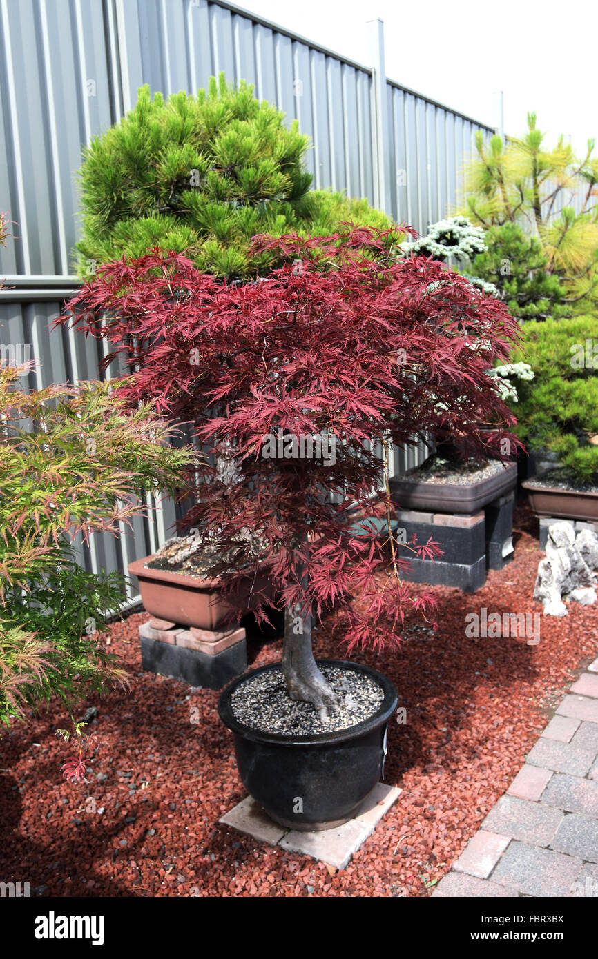 Potted Japanese Maple Stock Photos Potted Japanese Maple Stock