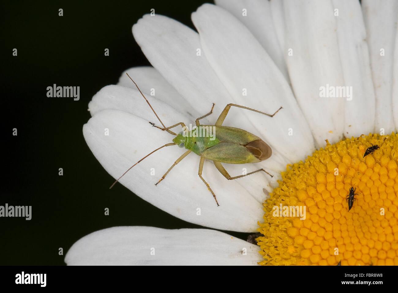 Potato Bug, Potato Capsid, Strawberry Bug, Zweipunktige Wiesenwanze, Weichwanze, Closterotomus norvegicus, Cimex - Stock Image