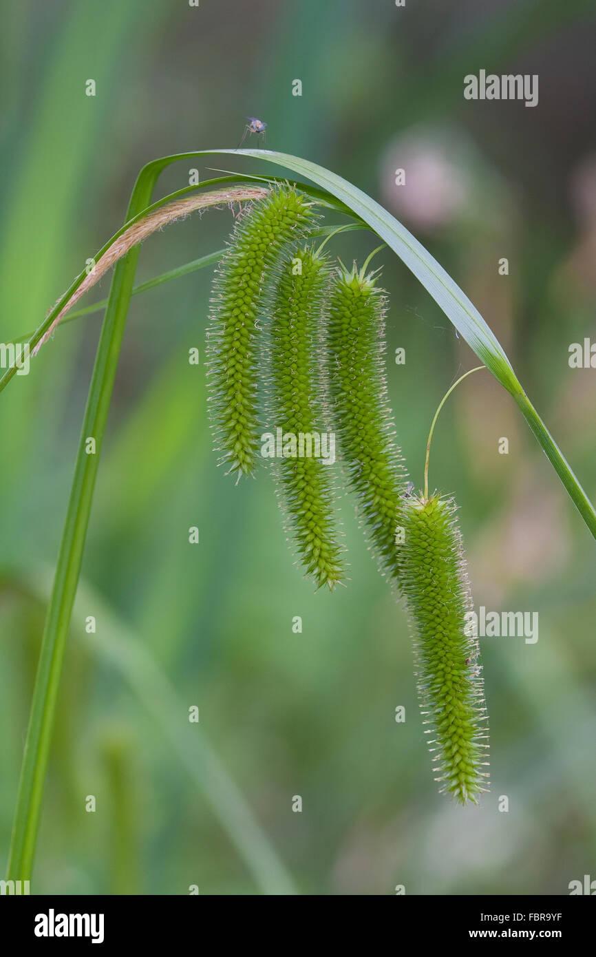 Cyperus Sedge, Zypergras-Segge, Scheinzyper-Segge, Scheinzypersegge, Zyperngras-Segge, Carex pseudocyperus - Stock Image