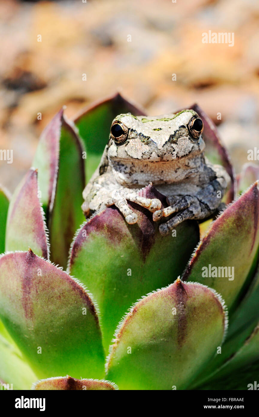Tree frog in hens and chicks plant - Stock Image
