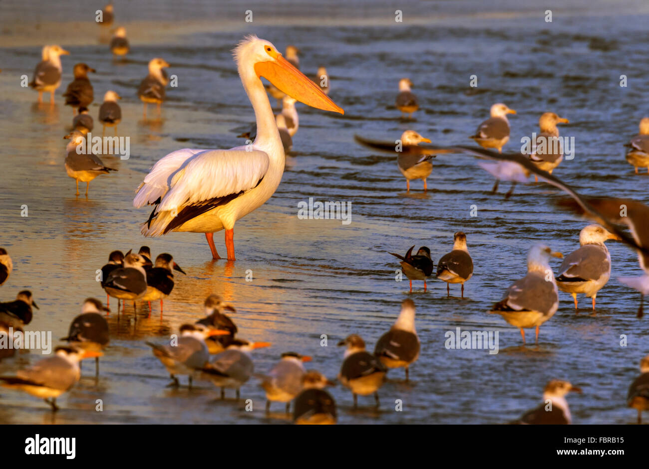 American white pelican (Pelecanus erythrorhynchos) surrounded by other birds on the ocean beach at sunrise, Galveston, - Stock Image