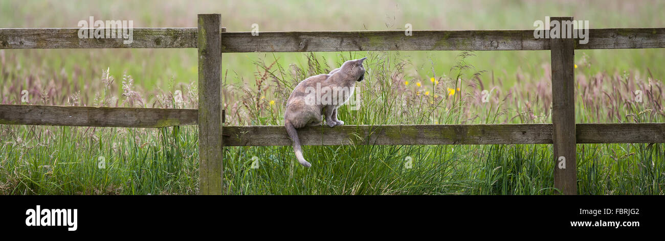 Cat siting on a wooden fence looking into a field - Stock Image