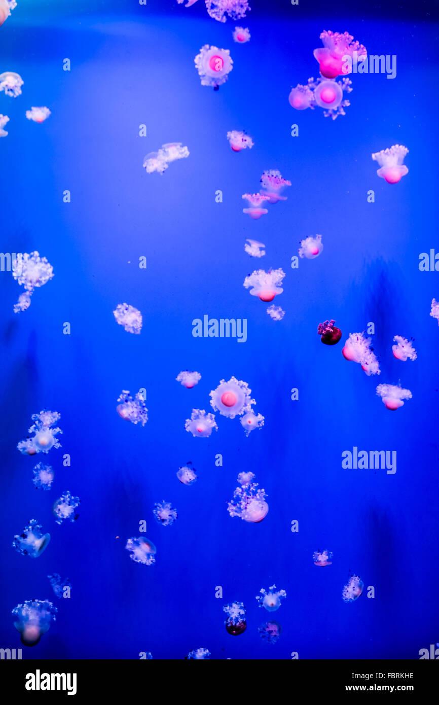 Group of light blue jellyfish - Stock Image