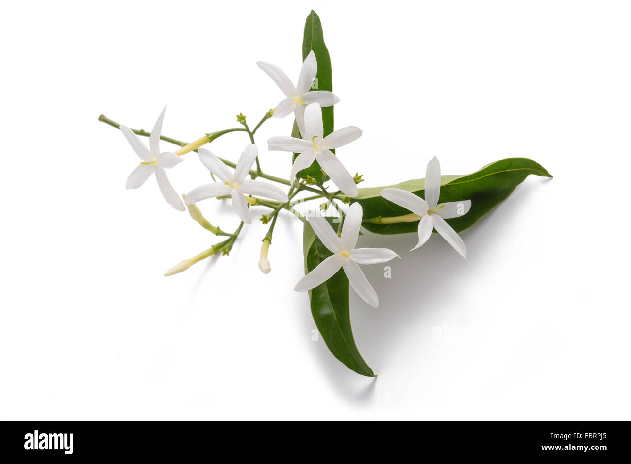 jasmine flowers with leaves isolated on white - Stock Image