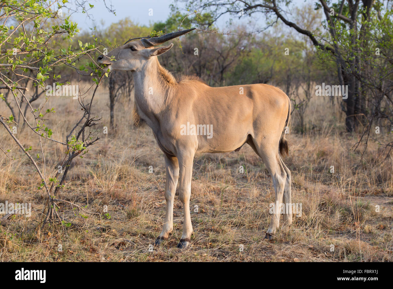 An Eland antelope eating leaves from a tree in the african bush - Stock Image