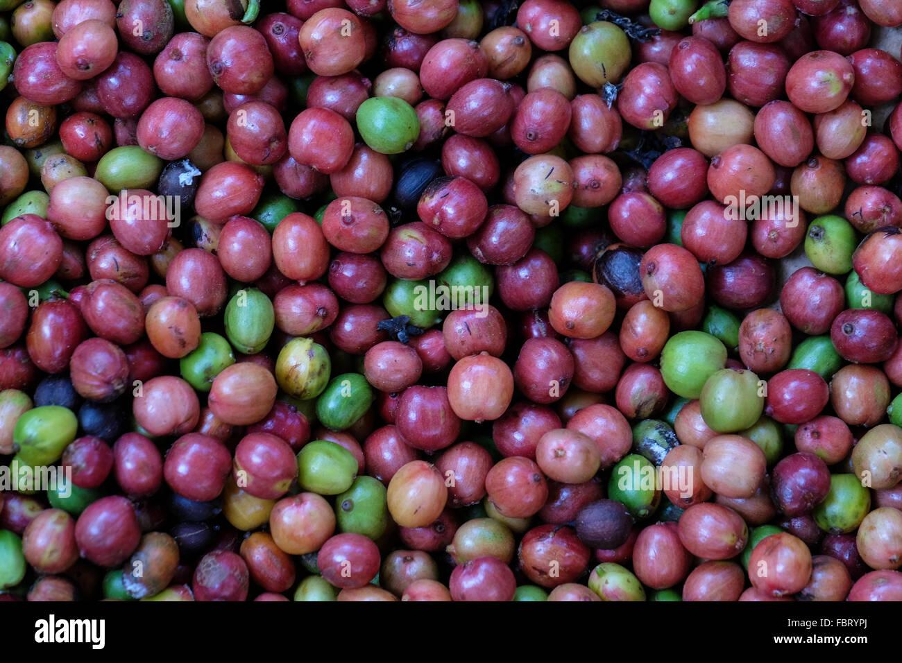 Arabica coffee cherries in Bolaven Plateau, Laos - Stock Image
