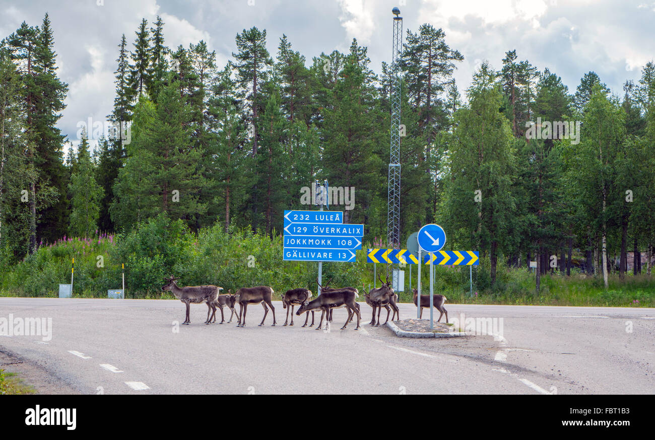 Reindeer at road junction with road signs in Lapland, Northern Sweden - Stock Image