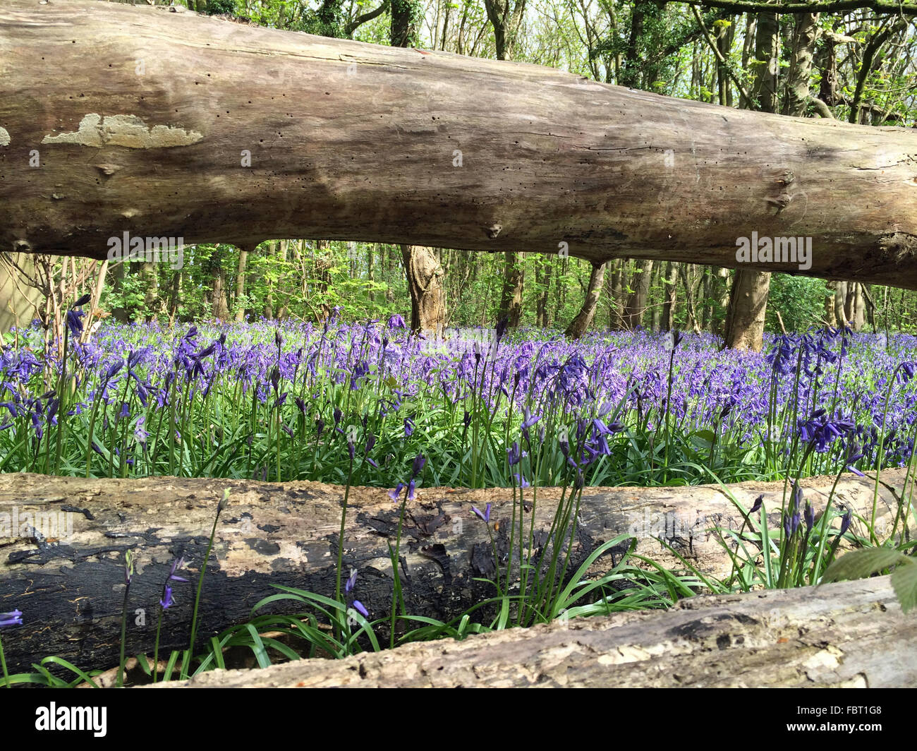 English bluebells in April at New Park Wood in Staffordshire, UK - Stock Image