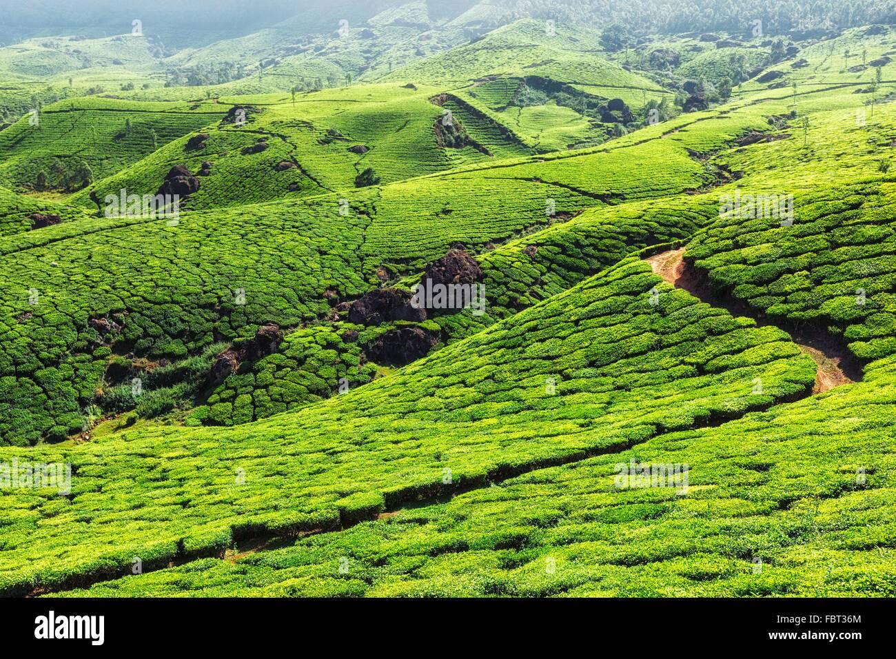 Tea plantations in mountains - Stock Image