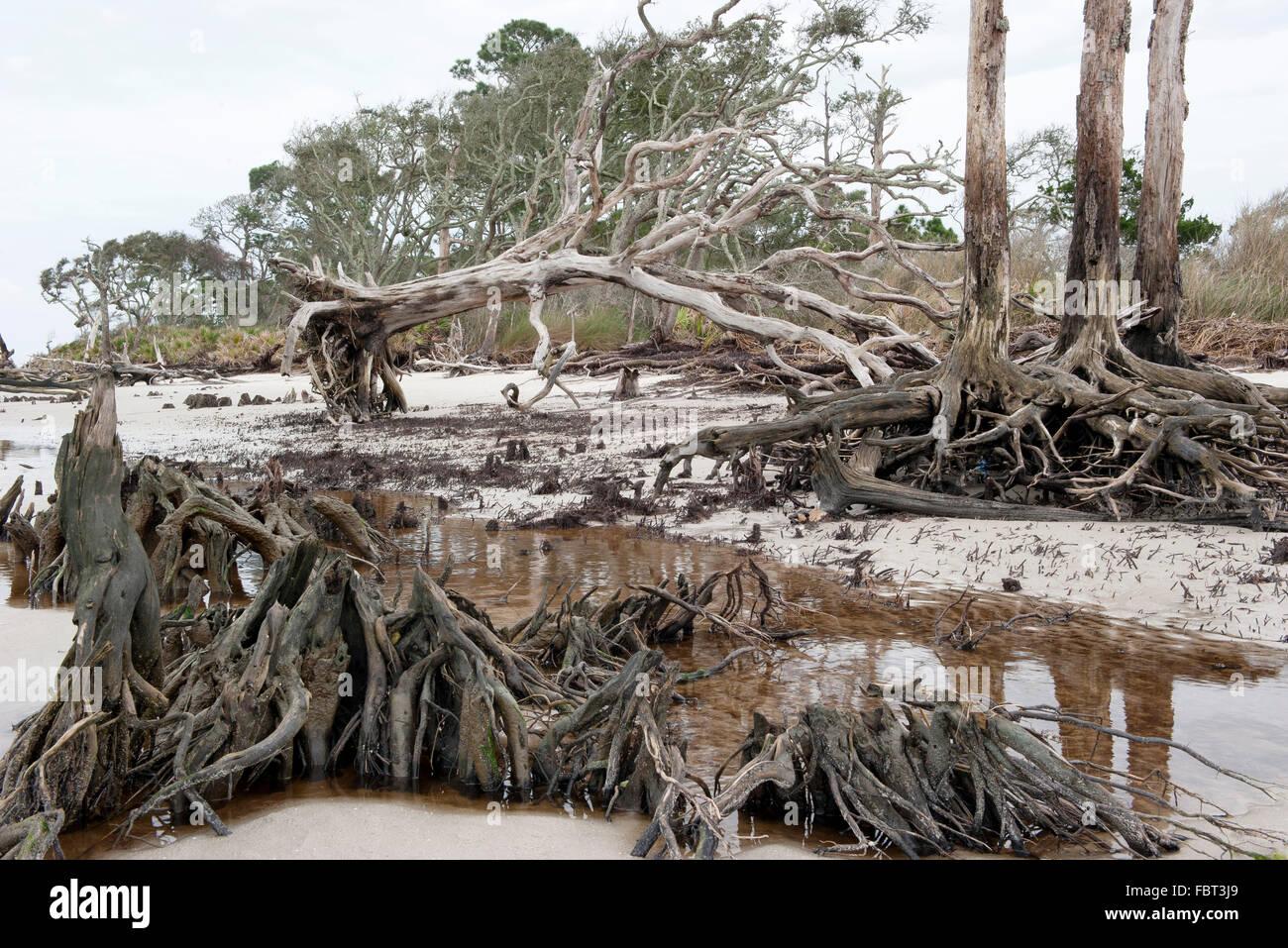 Dead trees on beach, Jekyll Island, Georgia, USA - Stock Image
