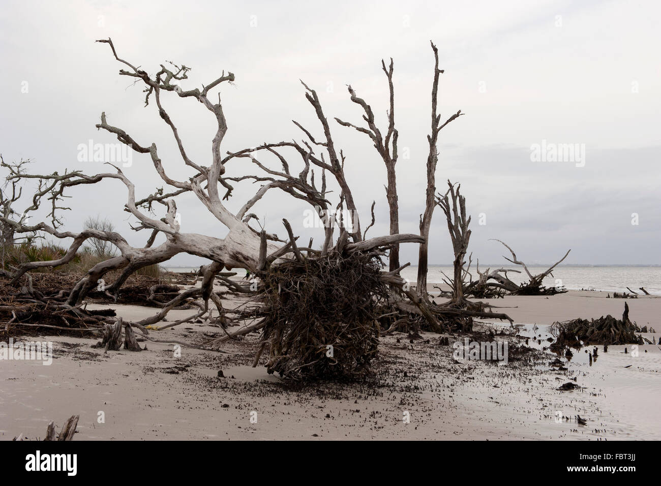 Dead, uprooted trees on beach, Jekyll Island, Georgia, USA - Stock Image