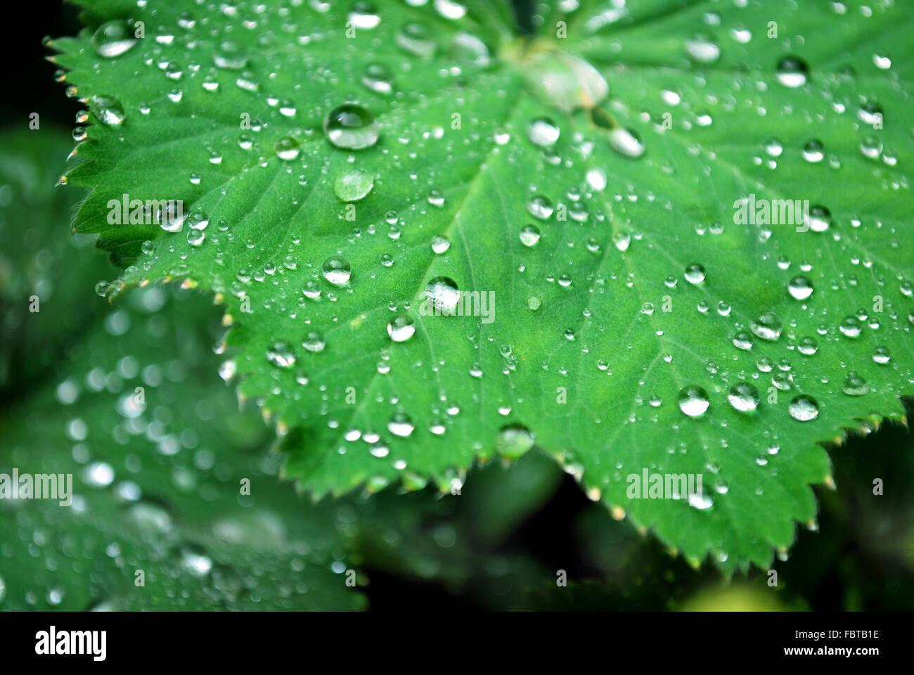 lady┬┤s mantle leaf - Stock Image