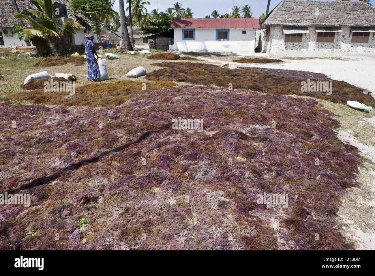 A woman worked to dry seaweed designed - Stock Image