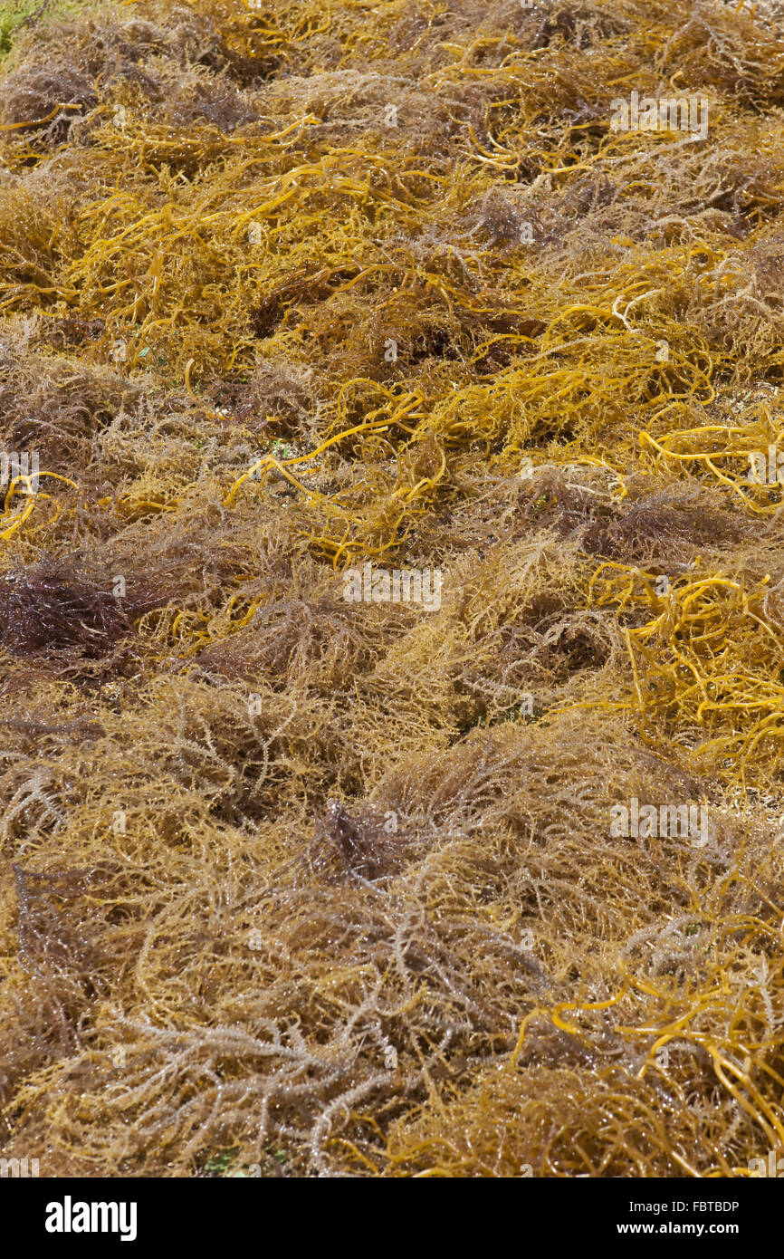 Laid out to dry seaweed - Stock Image