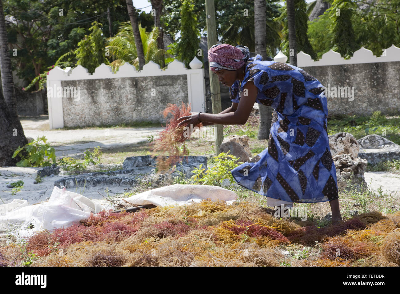 A woman worked to dry seaweed designed Stock Photo
