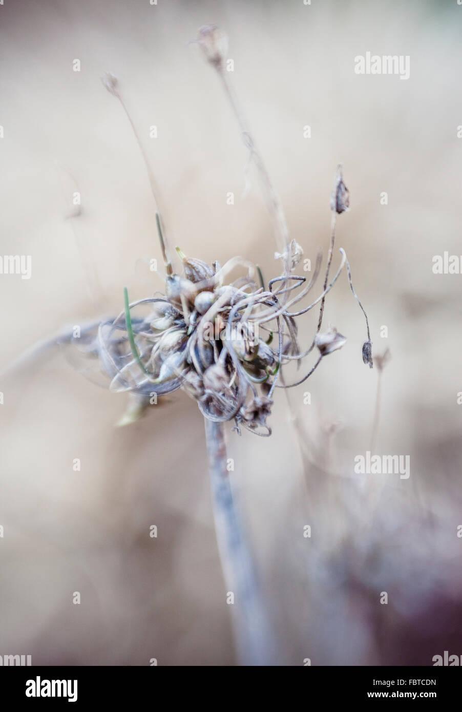 Seedhead of Allium vineale 'Hair' - Stock Image