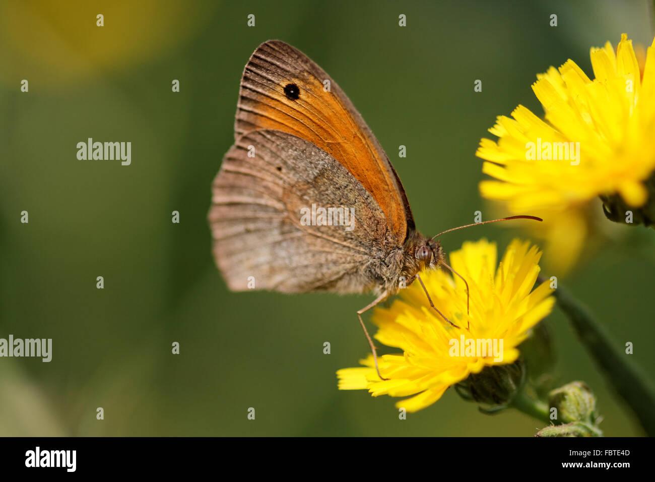 Small Heath on yellow flower - Stock Image