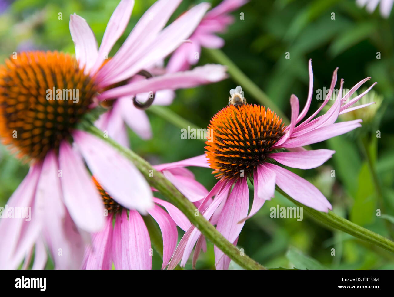 purple cone flower - Stock Image