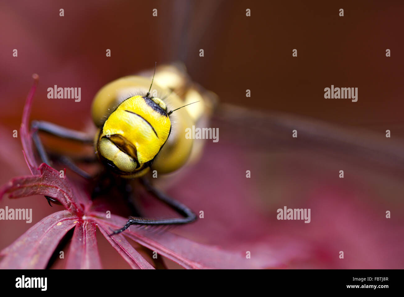 Extreme macro shot of a dragonfly. - Stock Image