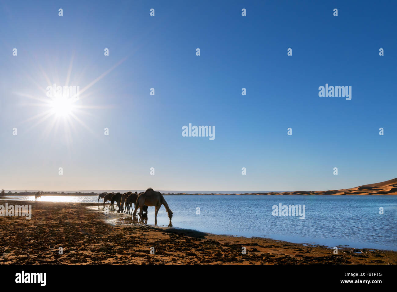 Dromedaries drink water at a rain-filled lake at the sand dunes of Erg Chebbi, Merzouga, Morocco. - Stock Image