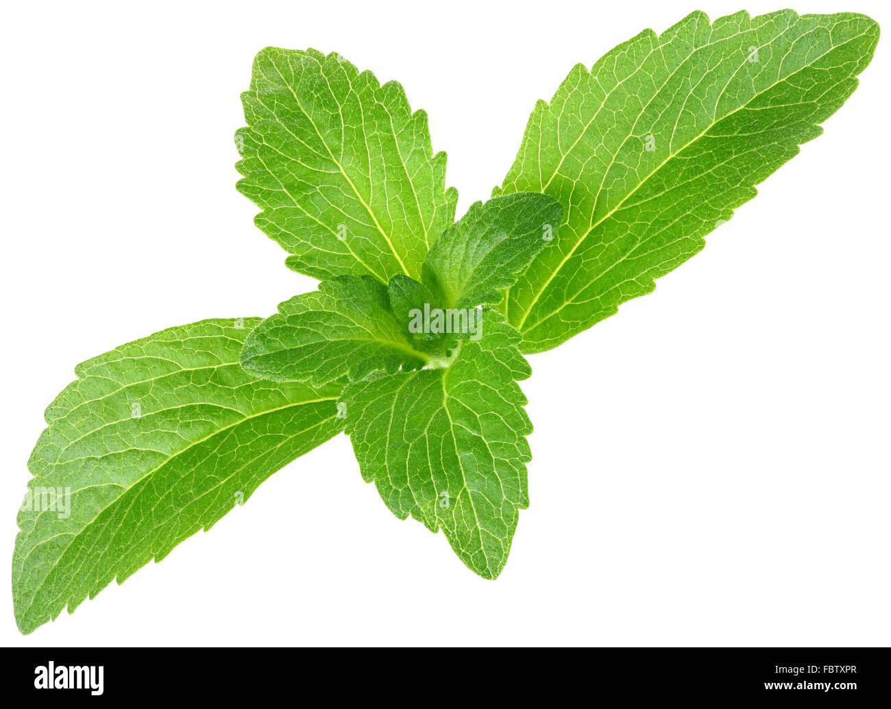 Stevia Rebaudiana, Sugar Substitute Cutout - Stock Image
