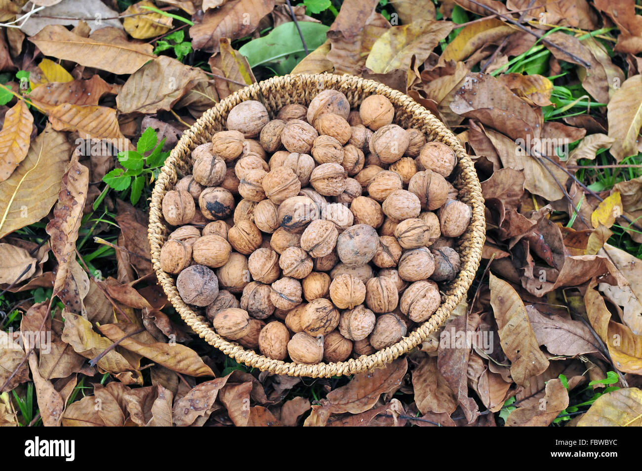 Harvested walnuts in a basket - Stock Image