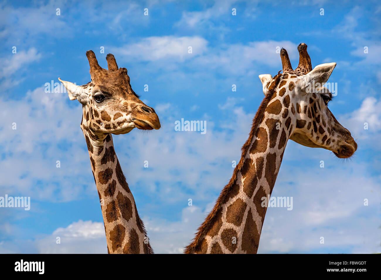 2 giraffe heads - Stock Image
